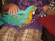 5дома,  поднятые и зарегистрирован синих и золотых попугаи ара для прод